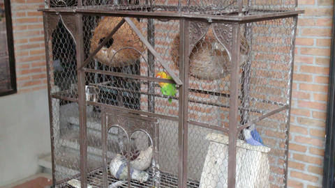 Budgerigar pet in the bird cage Live Action