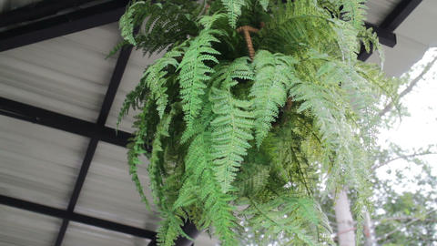 Ceiling decorated on green leaves plant pot Live Action