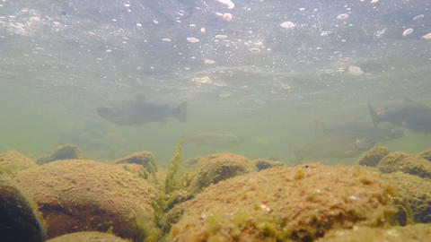 Trout Swims in the River Footage