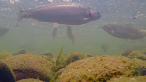 Flock of Rainbow Trout Under Water Footage