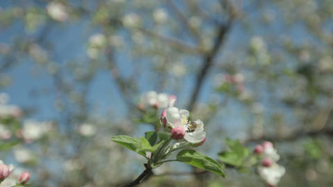 A bee flies over a blooming apple tree spring on a sunny day Footage