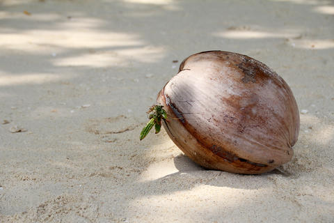Undiscovered coconut lying on the sand フォト