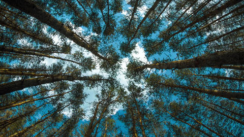 Pine tree forest up view with sky GIF