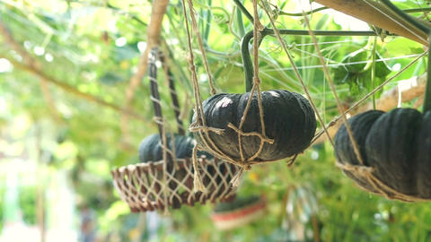 pumpkin vine, vertical garden hanging on the basket Footage