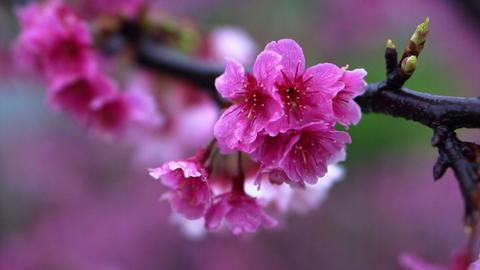 Cherry blossom flowers Japanese Sakura trees in Taiwan China Footage