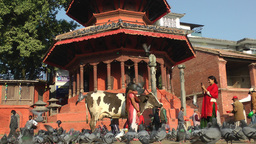 Pigeons, cow and people making photo Durbar square,Kathmandu,Nepal Footage
