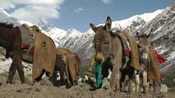 Lady brings donkeys back to village,Chitkul,India Footage