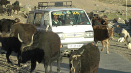 Cattle herding with car passing,Ki,India Footage