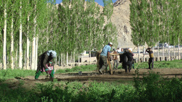 Farmers ploughing fields with yaks,Leh,India Footage