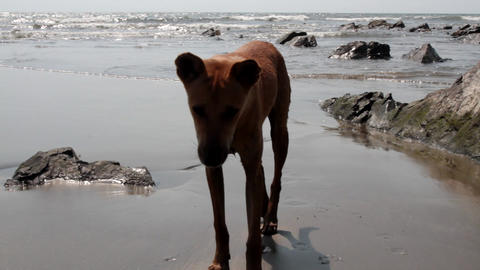 Young stray dog on the shore of the Arabian sea Footage