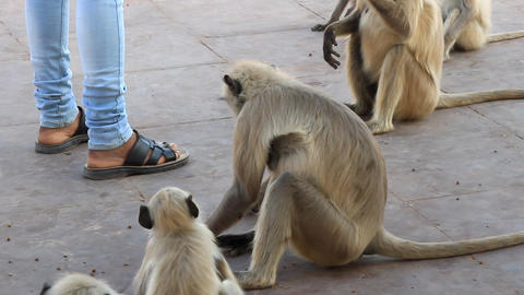 Indian feeds a pack of sacred monkeys Live Action
