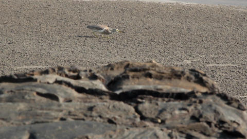 Paddybird (Ardea grayii) hunting for crabs Live Action