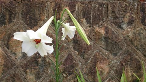 石垣に咲く高砂百合 Lilium formosanum フォト