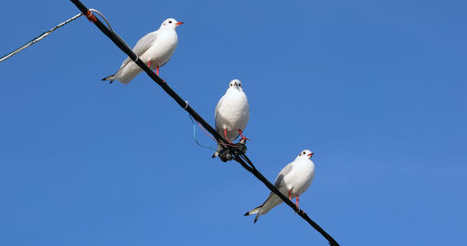 Seagulls On An Electric Wire Footage