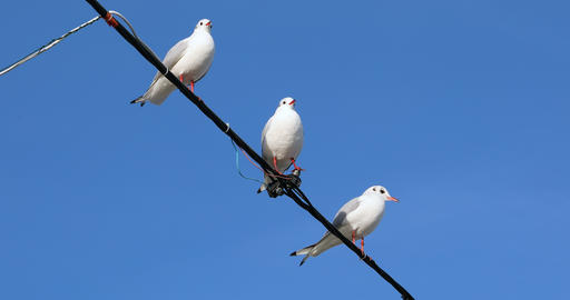 Seagulls On An Electric Wire Stock Video Footage