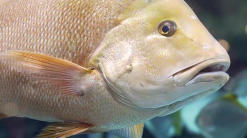 Colorful aquarium, beautiful parrot fish swimming in ocean corals Live Action
