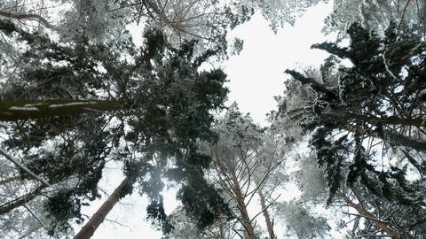 Top of trees in the winter forest. Flying between trees Footage