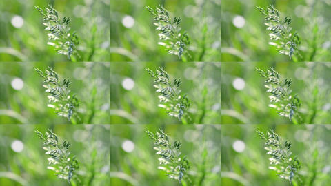 wheatgrass close up on blurred green background in the wind ビデオ