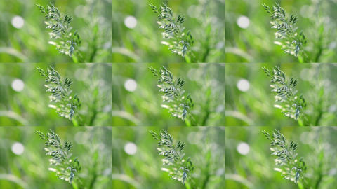 wheatgrass close up on blurred green background in the wind Stock Video Footage