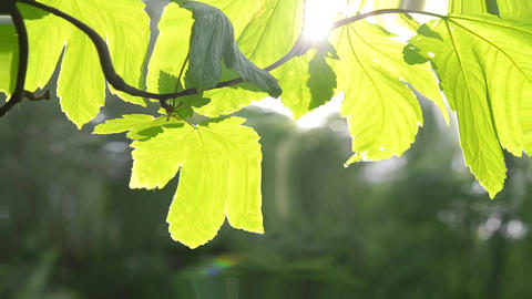 beautiful green leaf on the branch of a tree with the sun backlighting, HD 1080 Footage