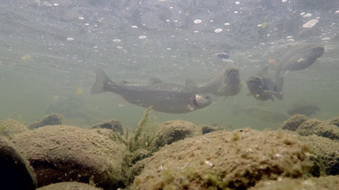 Rainbow Trout in the River Under Water Footage