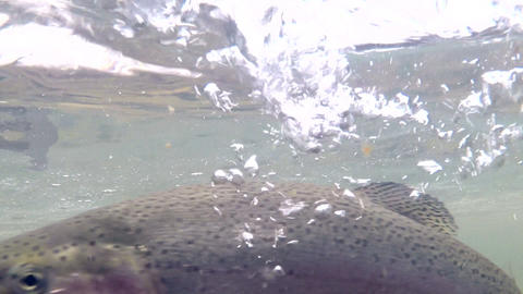 Trout Swims Near the Surface of the Water Footage
