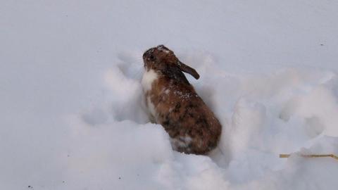 Rabbit Digs Burrow in Snow Footage
