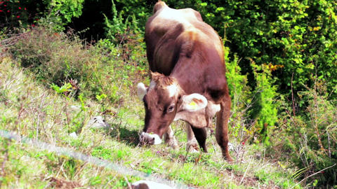 Brown cow grazing on Alps mountain meadow at fall sunny day Live Action