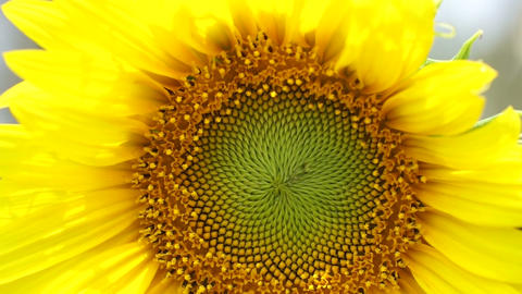 Yellow bright Sunflower and bee close up shot Footage