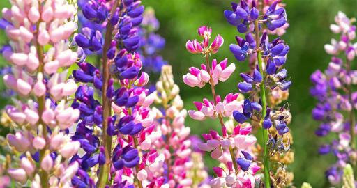 Pink And Purple Muscari Armeniacum Spring Flowers In Garden Footage