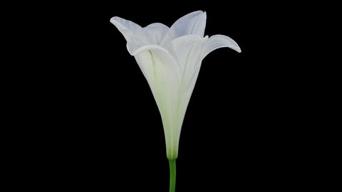Growing, opening and rotating white Easter lily in RGB + ALPHA matte format Footage