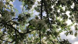 Spring Flowering Trees Footage