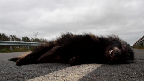 Racoon dog was hit on highway by car Live Action