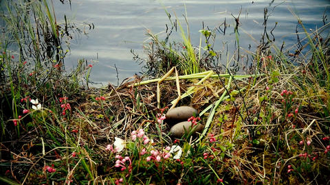 Nest of red-throated Loon (Gavia stellata) Live Action