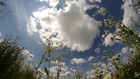 Camp flowering weed that moves in the wind under blue sky with white clouds 01 Footage