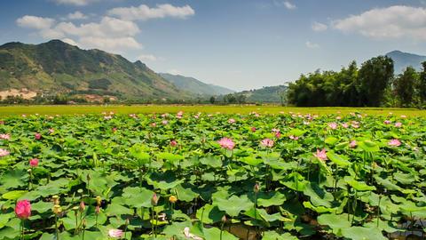 Pink Lotus Plantation against Palms Hills Blue Sky Footage