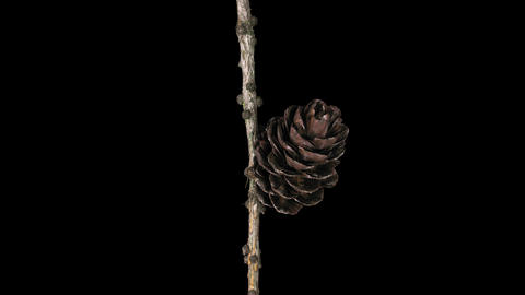 Time-lapse of opening pine cone, 4K with ALPHA channel Footage