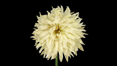 Time-lapse of dying white dahlia with ALPHA channel Footage