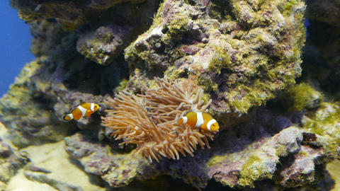 Relationship of Nemo (Clown Fish) and Anemones Footage