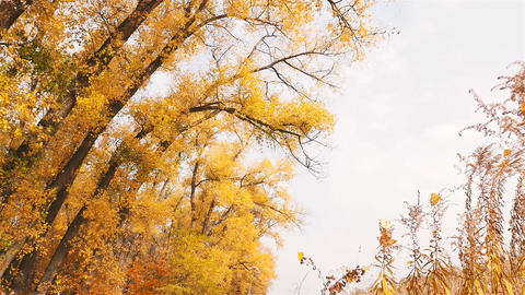Beautiful yellow trees in the fall. Falls foliage from the trees. Slow motion Live Action