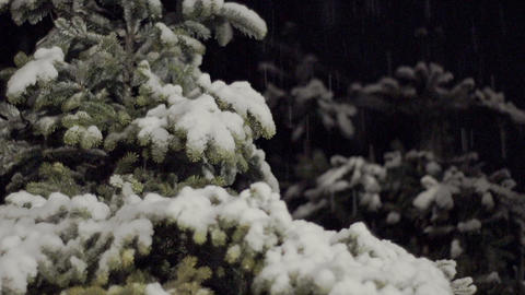 Snow grows on cedar trees. It changes from snow to rain Footage