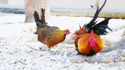 Key West wild chickens couple rooster searching for food... Stock Video Footage