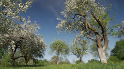 Flowering blooming apple tree, garden. White flowers. .Apple tree in bloom Footage