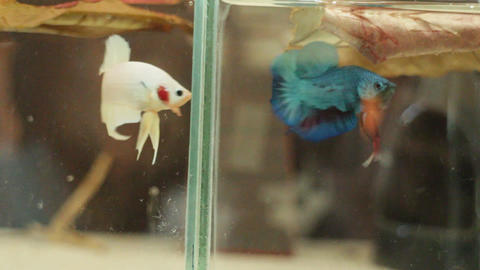 Little siamese fighting fish exercise in the tank Stock Video Footage