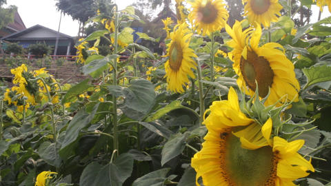 Beautiful sunflower blooming in public park Footage
