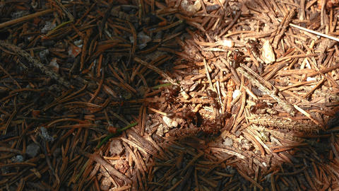 4K Red Ants on Anthill Footage