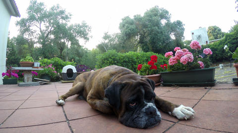 Close up of a boxer dog resting on a terrace Footage