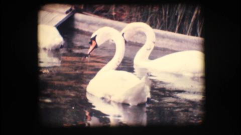 Vintage 8mm. Swans in a pond Stock Video Footage