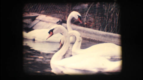 Vintage 8mm. Swans in a pond Footage