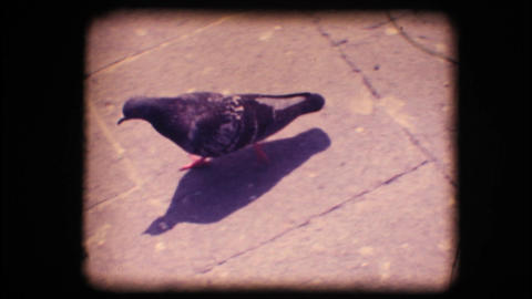 Vintage 8mm. Pigeon walking Footage